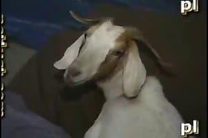 fuck goat